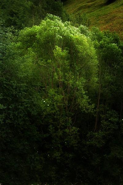 Vârfuri de copaci