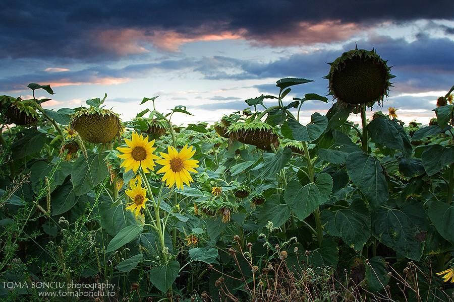 Apus de soare în lanul de floarea soarelui