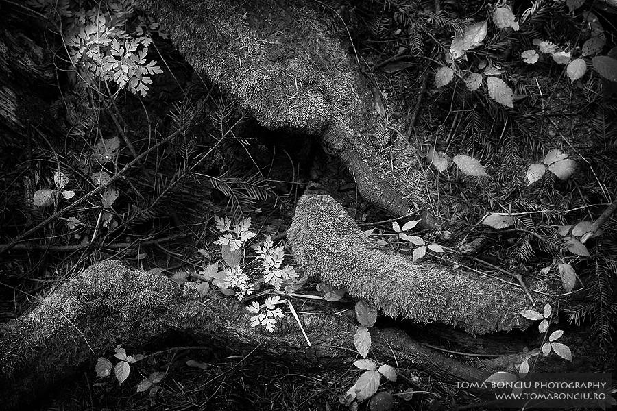 Rădăcini (Roots)