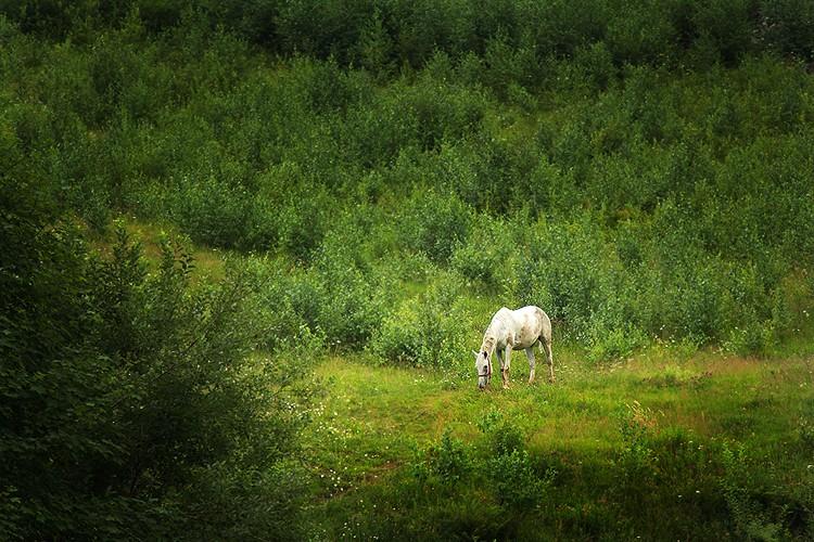 Calul alb